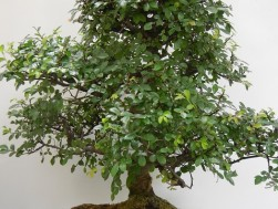 Bonsai-aurillac